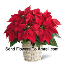 A perky, colorful, long-lasting poinsettia in a basket. (Please Note That We Reserve The Right To Substitute Any Product With A Suitable Product Of Equal Value In Case Of Non-Availability Of A Certain Product)
