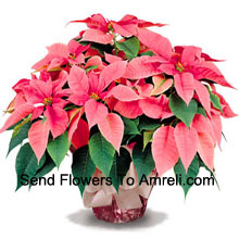 A long-lasting favorite for home or office, our top quality poinsettias are a great way to say 'Season's Greetings' with style (Please Note That We Reserve The Right To Substitute Any Product With A Suitable Product Of Equal Value In Case Of Non-Availability Of A Certain Product)