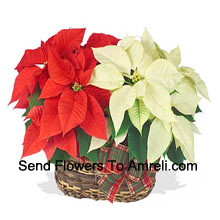 productTwo colorful, long-lasting poinsettias combined in a basket for a stylish holiday gift! One is red, and the other is white, pink, or another popular color. (Please Note That We Reserve The Right To Substitute Any Product With A Suitable Product Of Equal Value In Case Of Non-Availability Of A Certain Product)